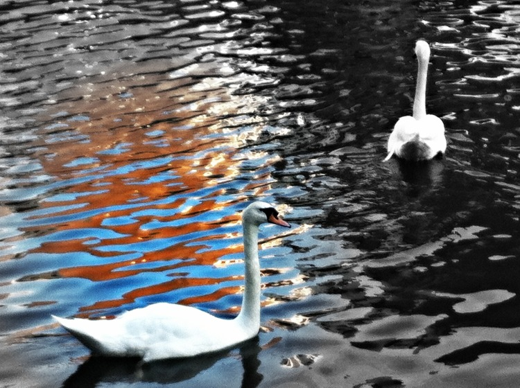 Swan_home_effects