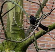 Blackbird (Turdus Merula) male