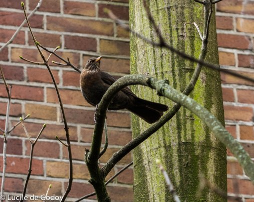 Blackbird (Turdus Merula) female