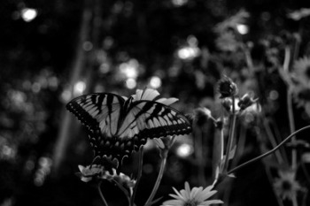 butterfly-macro-flowers-hiking-fredericksburg-blackandwhite