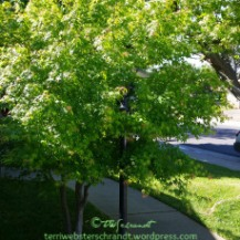 april-chinese-maple