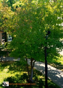 full-october-chinese-maple
