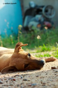stree-dog-sleeping-morning-sunrise-small-e1445010251946