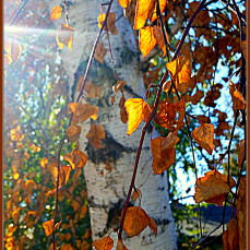 autumn-birch