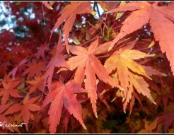 chinesemaple