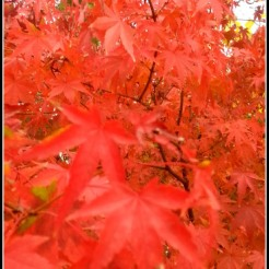 chinesemaple1
