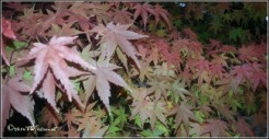 chinesemaple2
