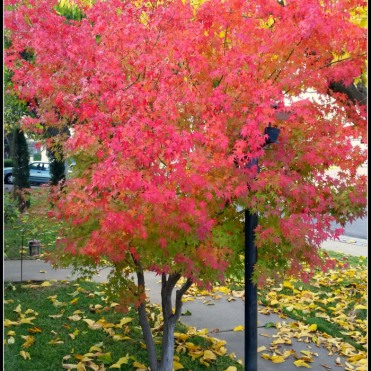 december-maple-front