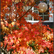 maple-in-fall-glory