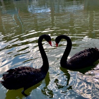 Black Swan - Regular Random